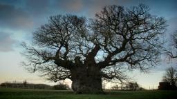 Oak Tree (7)